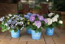 Hydrangeas / Hydrangea identification and care