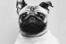 P u g s  E v e r y w h e r e !  <3 / Pugs. I dont need anything else <3