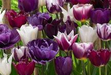 Purple Garden / Create a garden with your favorite color: purple! Plant tulips, crocus, hyacinth, allium, bearded iris and more!