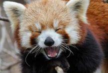 ★Pandas!★ / Cute red pandas/pandas for you!