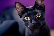 Beautiful Bombay Cats / Bombay cats are beautiful.