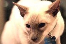 Opulent Oriental Cats / Oriental Cats are beautiful.