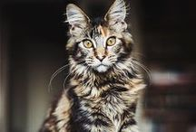 Maine Coon Cats / Maine Coon Cats are beautiful.
