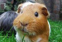 Guinea Pigs Galore / Guinea pigs and cavies