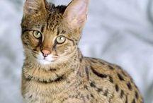 Super Savannah Cats / Savannah cats are beautiful.