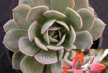 Succulents / Bitki ve çiçekler