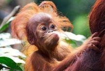 Orangutangs are awesome