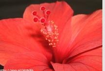 VM: Hibiscus
