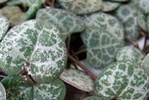 VM: Ornamental foliage