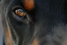 Love Dogs / Pit bulls, Rotties, Labs, fitness , Gray Hair / by Karen