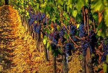 """Italian wine / """"La vita è troppo breve per bere vini mediocri""""  Johann Wolfgang von Goethe (1749 – 1832)  """"Life is too short to drink bad wine""""  Johann Wolfgang von Goethe (1749 - 1832)"""