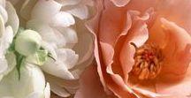 Великолепные розы