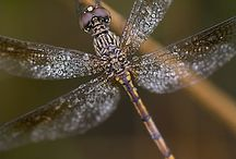 Dragonflies / Lived for 25 years next to water, every year there were new dragonflies.