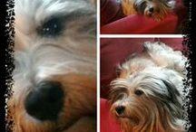 Tibetani terrier