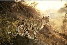 my predators / #lion's, #leopards, #cheetahs and other #predators #photographs #ritterbach #travel4pictures