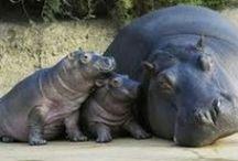 nijlpaarden/ hippo's