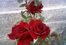 Güllerim / BAHÇENİN GÜLLERİ