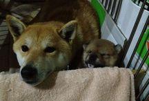 Shiba inu / My lovely shiba inu :)  mom and child