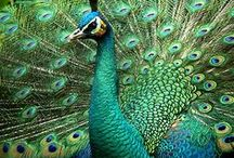 pawie / peacocks inspirations