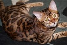 Male bengal kitten Orion - SOLD to Indonesia / Male bengal kitten Orion - SOLD, born on August 3, 2015 HCM parents - free, PkDef N/K, parents Fiv and Felv - negative Russia, Sochi welcome to my website www.magic-shine.ru
