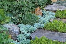 Succulents / Succulents are water preserving plants often found in arid climates with high temperatures. They store water well which gives them the unique ability to thrive on limited water sources.