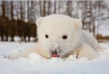 Polar Bear Passion / They're white and fluffy and I want to keep one in my garden.  Probably only until it eats me.
