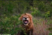 Lions / The King of the Jungle