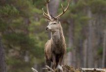 Stags and their relatives