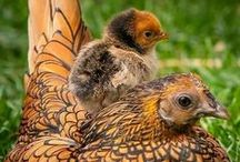 Hens and Family
