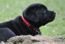 My black labrador / My Labrador Pollux born 4th of June 2016