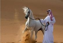 ARABIAN  HORSES / Different countries of arabian horses