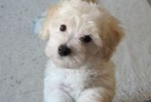 ♥♥♥ my puppy ♥♥♥ / Pasqual, Bichon bolognese