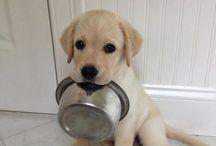❤️ Labradors