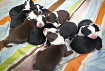 Bugs and Cinch's puppies / Bugs and Cinch make beautiful babies. Here you will see their new puppies for 2015 and puppies from 2014.