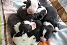 Queenie and Sparky McNab Collie Puppies, 2015 / Five beautiful McNab collie puppies, 2 girls and 3 boys.