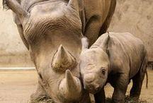 Bebeh Rhinos!