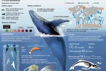 Reykjavik Whale Watching, Iceland / All year round we offer whale watching, incentive and exclusive tours and the ferry to Viðey Island. Additionally in summer time we offer puffin watching and sea angling and Imagine Peace Tours during it's lighting time. www.netkaup.is