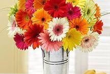 Gerbera / un fiore che ricorda la semplice e classica margherita si arricchisce di svariati colori che ne ne esaltano le forme