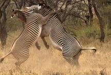 Wild animals / Animals caught in the wild - maxanimal.com