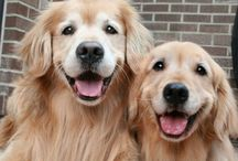 "Dogs - Golden Retrivers / To 'Indiana': ""The face of a golden retriever feels like home"" _David Rosenfelt"