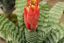 Bromeliads/Epiphytes / Bromeliads: Different species