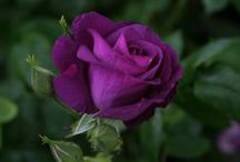 FLoWeRs!! / #roses #purple #flowers / by Tina Moberly Koch