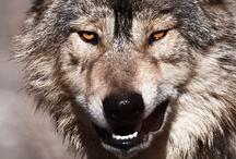 Wolf Fotografien - wolf pics by Johnny Krüger