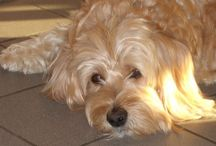 Wheaten terrier mix / by Magda D