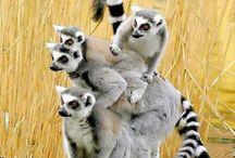 Madagascar mamabé / Madagascar  mamabé