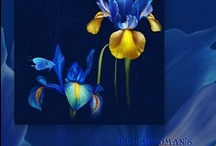 Irises / Any Iris varieties. The most beautiful flower in the world? / by John Le Brasseur