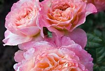 Roses that excite / Roses that I like