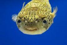 puffer fish kogelvis / Torquigener sp., Tetraodontidae
