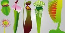 Carnivorous Plants / Nepenthus -Kannetjeskruid-Pitcher plant Blaasjeskruid ~Bladderwort~Blaasjeskruid (Utricularia) is een vleesetende plant die slechts hele kleine prooien kan vangen. Soms zelfs zo klein dat ze met het blote oog nauwelijks te zien zijn. Er bestaan zowel soorten die in het water groeien als soorten die op het land groeien.
