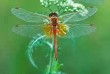 Dragonflies  / by Leslie Cunningham